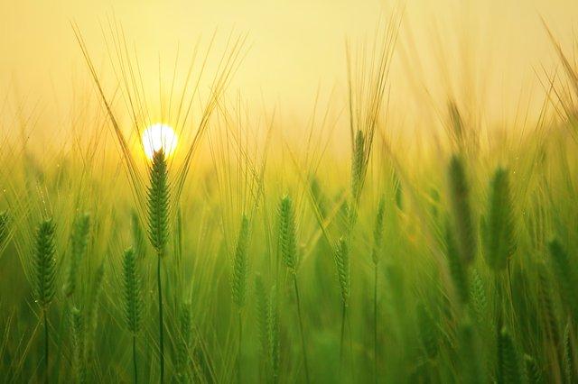 光を浴びて育つ穀物の畑